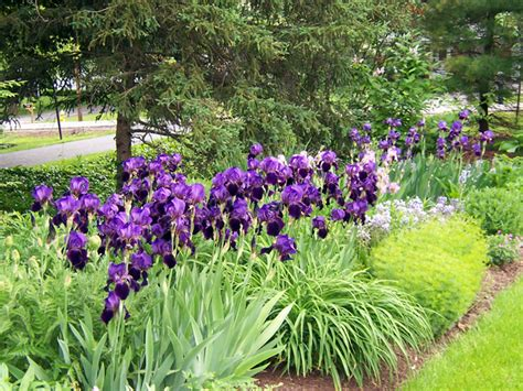 Blooming Iris 171 The Garden Worm Blog Iris Flower Garden