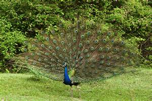 National Bird Of India Essay by Paragraph On Peacock Bird Essay On National Bird