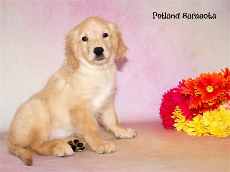 golden retriever puppies for sale in florida golden retriever puppies for sale why you need this breed petland sarasota