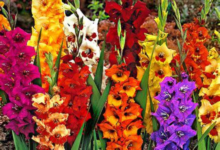 imagenes de flores gladiolas la gladiola blog y noticias