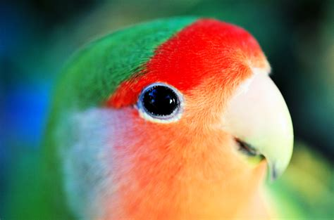 birds parrots lovebirds peach faced lovebirds rosy faced