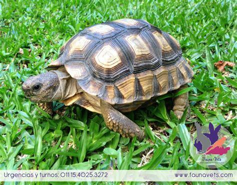 imagenes de libres y tortugas guia de cuidados de la tortuga terrestre