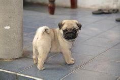 pug puppies for free adoption in bangalore fawn black pug puppies black pug puppies happy gotcha day and