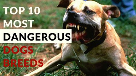 top 10 dangerous dog breeds in the world top 10 most dangerous dog breeds in the world 2017 youtube