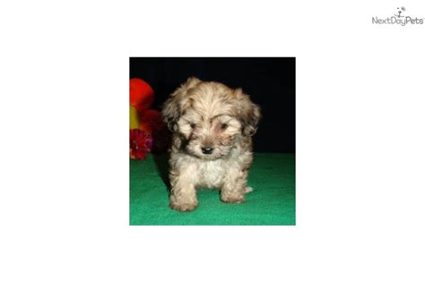 yorkie bichon mix price meet virginia s boy 2 a yorkiepoo yorkie poo puppy for sale for 500