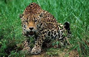 Are Jaguars In Africa On 231 A Pintada