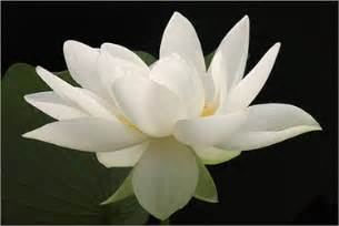 White Lotus Cambodia Always Lotus Flowers