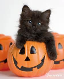 halloween black cats raven ragdoll x tiffany inside the pumpkin raven can