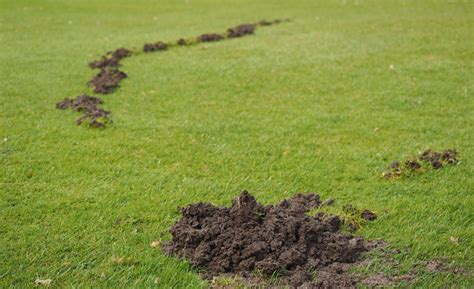 how to get rid of moles in the backyard how to get rid of moles using home remedies improvements blog