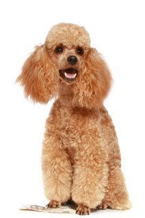 learn to groom dogs how to groom a poodle lovetoknow