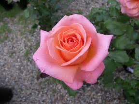 tea rose pink tea