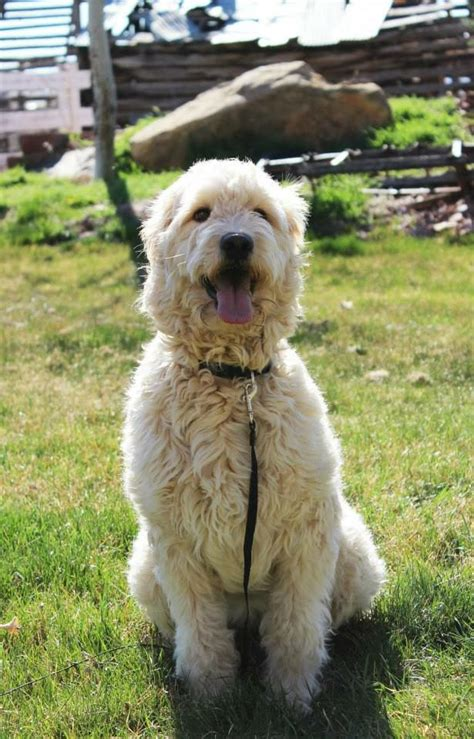 non shedding golden retriever 61 best images about mini goldendoodles on goldendoodle best