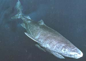 Sleeper Sharks by Are Lake Monsters Just Sharks Sharknewz
