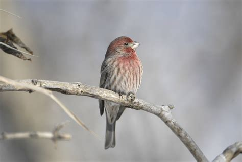irruptive winter finches