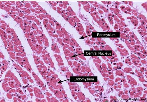 cardiac muscle cross section cardiac muscle cross section slide labelled histology