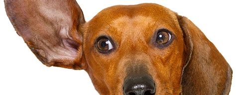 how to treat ear infection without vet the secret to getting rid of ear infections in your at home rescue dogs 101
