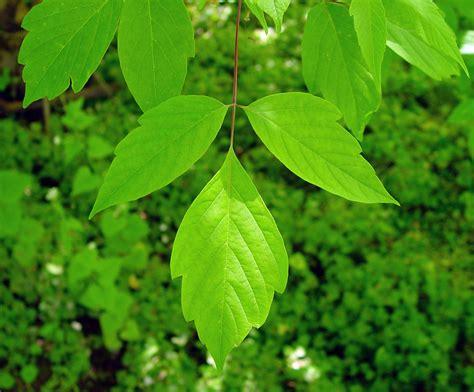 acer negundo ash leaved maple boxelder go botany