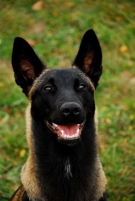 malinois dogs belgian malinois shepherd malinois magnifique black belgian