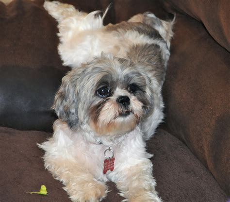 shih tzu with hair shih tzu hair breeds picture