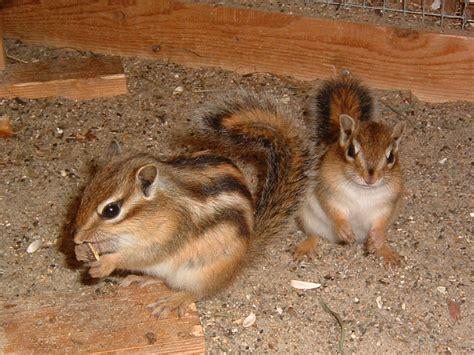eichhörnchen in der wohnung tieranzeigen streifenh 246 rnchen kleinanzeigen