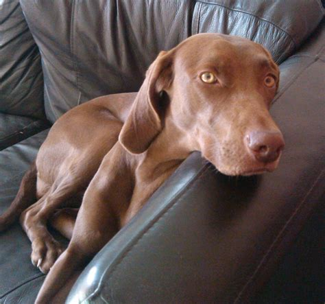 vizsla puppies iowa vizsla weimaraner breeds picture