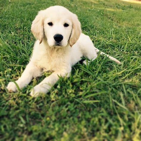 dallas golden retriever puppies adorable golden retriever puppies picture album