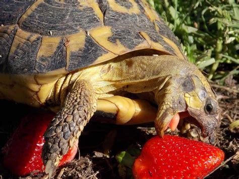 tartarughe terra alimentazione alimentazione delle tartarughe di terra consigli per una