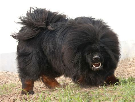 black mastiff puppy tibetan mastiff info puppies sale cost facts pictures