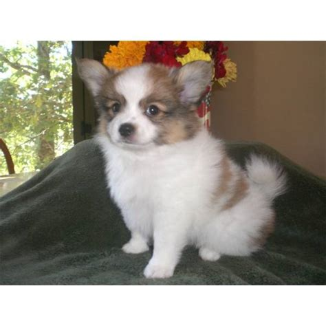 pomeranian puppies for sale calgary 2 pomeranian puppies available for adoption calgary dogs for sale puppies