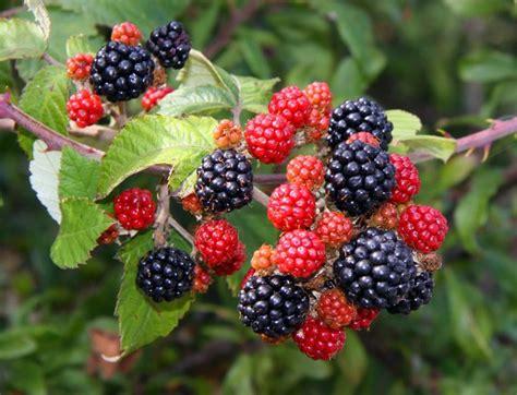 Blackbarry Jump Fruit file blackberries by hanney road geograph org uk
