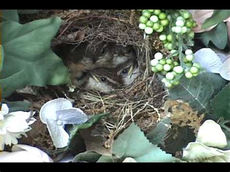 mother feeding baby birds in the nest and cleaning the