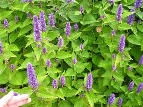 learn about growing agastache in the garden
