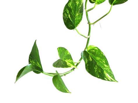 vine house plants 観葉植物初心者におすすめ ポトスを思いっきり楽しむ5つの方法