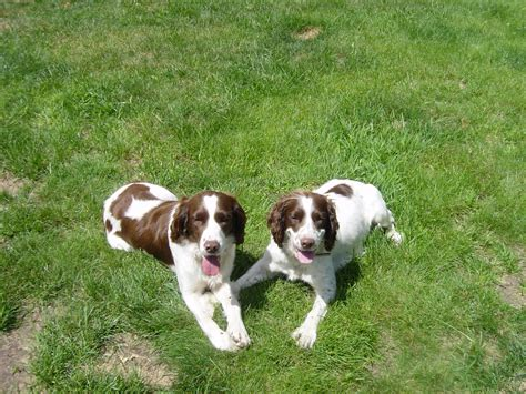 springer spaniel puppies for sale in wisconsin purebred springer spaniel puppies for sale find a purebred breeder near you