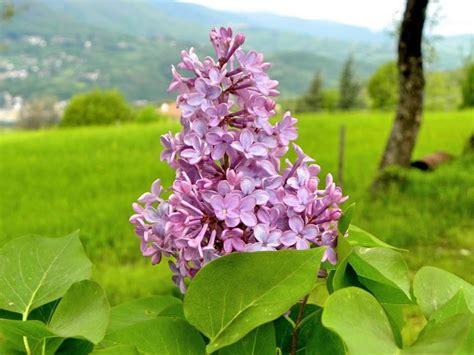pianta lilla in vaso lill 224 syringa syringa piante da giardino lill 195