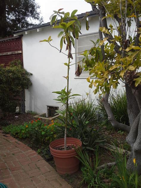 avocado trees sacred garden designs