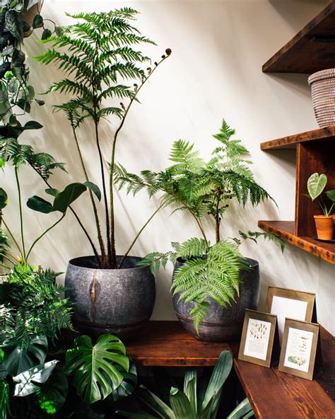 fern decor tree fern care how to keep tree ferns as indoor plants