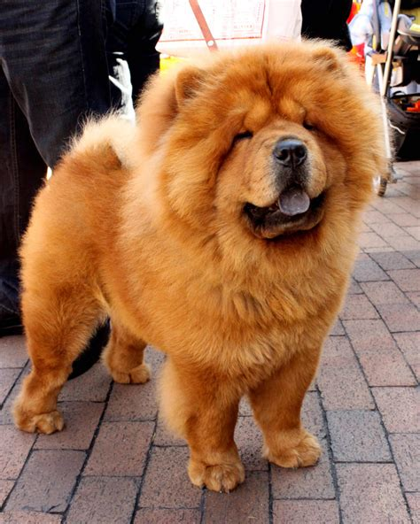 chow puppy chow chow breed 187 information pictures more