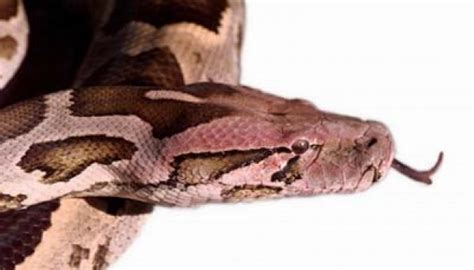 film ular piton ular terbesar di dunia ditangkap di malaysia dunia tempo co