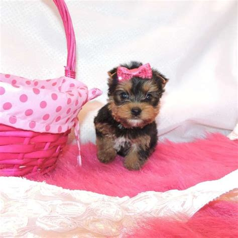 yorkie small small yorkie pup for sale allyson teacup yorkies sale