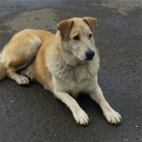 golden retriever puppy aggressive behavior genetics of aggressive behaviour in golden retriever dogs breeds breeds picture