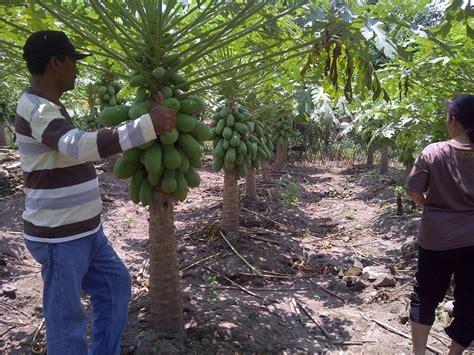Agensia Hayati Trichoderma selamatkan pertanian indonesia