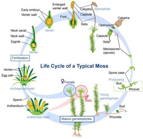 liverwort cycle diagram image gallery sporophyte diagram
