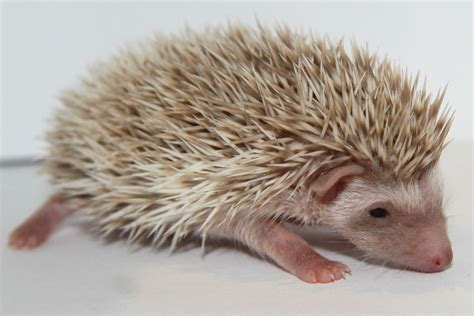 How to keep your hedgehog happy and healthy the exotic pet playbook