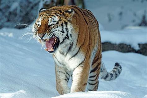 Harimau Lapar sibirischer tiger kostenlose bilder auf pixabay