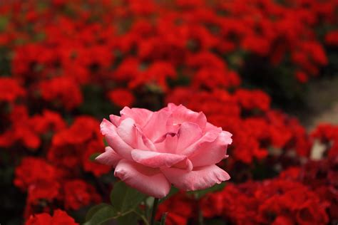 imagenes d flores rojas related keywords suggestions for jardines de rosas rojas