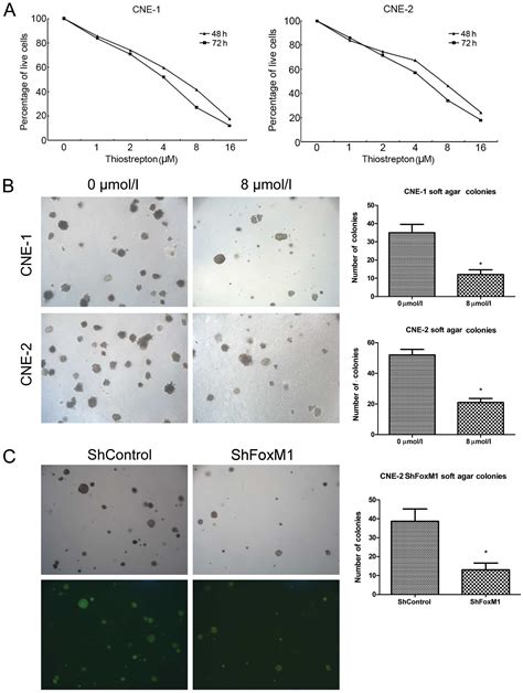 pattern formation in vitro targeting foxm1 inhibits proliferation invasion and