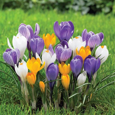 longfield gardens crocus large flowering mix bulbs 250