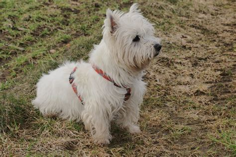 the gallery for gt west highland white terrier mix