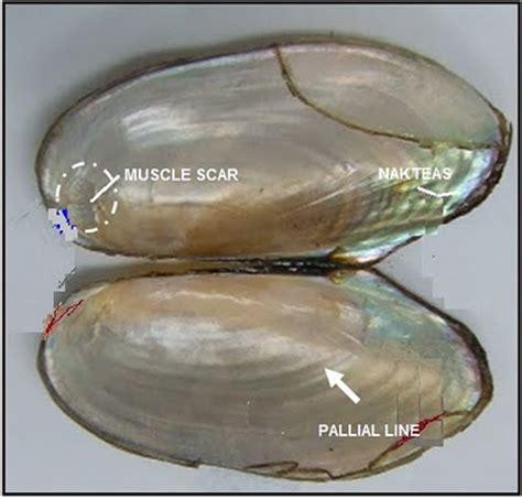 Mutiara Kerang Kima pelecypoda mollusca kerang penghasil mutiara alam indah